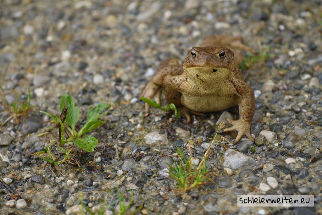 Dicker Frosch