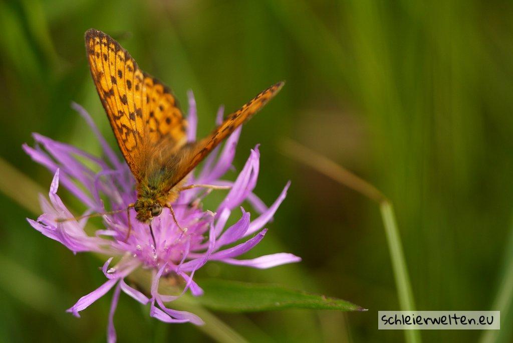 Schmetterlings Augen