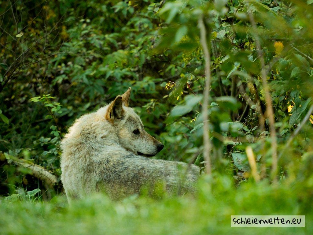 Entspanter Wolf
